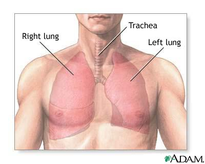 Image normal lung anatomy normal lung anatomy ccuart Images