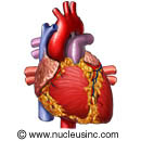 Picture of the heart