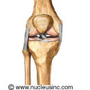 Picture of the bones and ligaments of the knee
