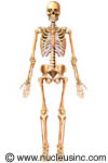 Picture of the skeletal system