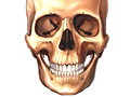 Picture of the facial bones